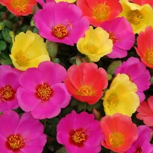 TOUCAN HOT MIX  Portulaca Seeds    A brilliant mix of scarlet, yellow and fuchsia. Packet is 50 seeds.      50 SEEDS:$3.49