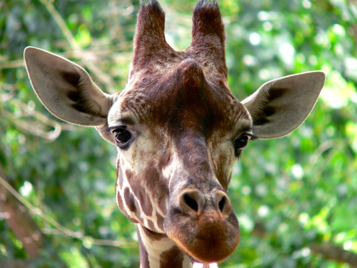 Giraffe fotografie: L. Blok