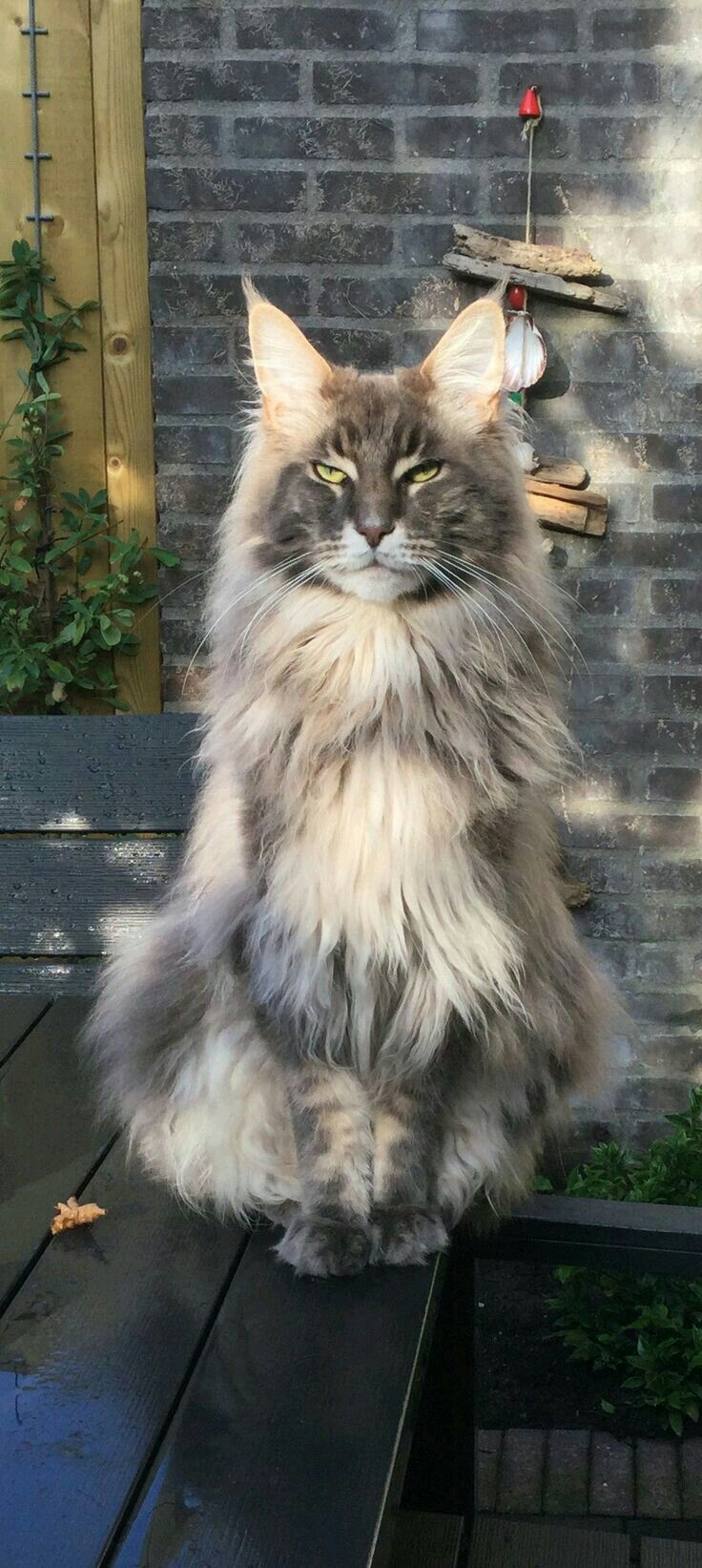 Pin On Maine Coon And Norwegian Forest Cats