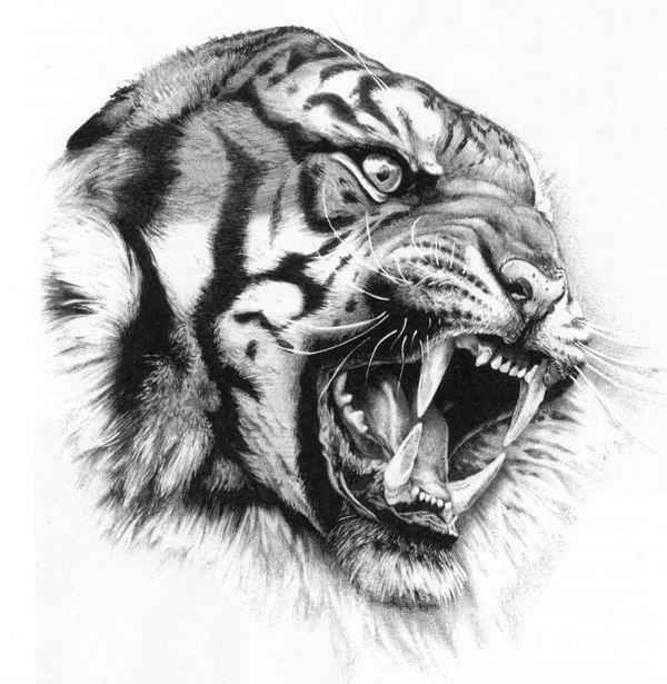 Großartiger Tiger Auf Einer Tätowierung: Pläne, Skizzen