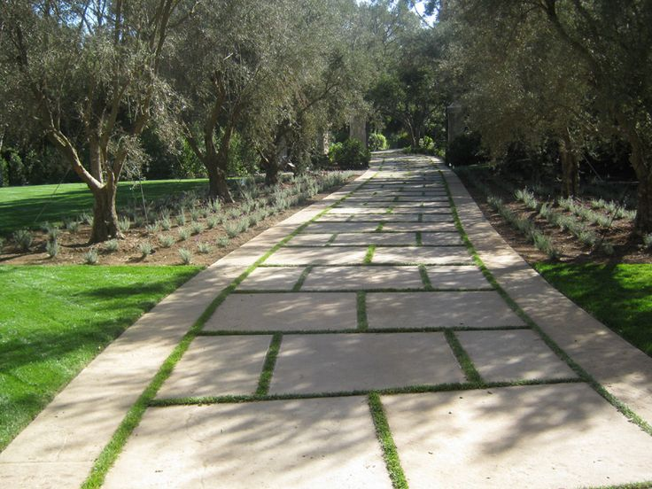 Olive Tree lined driveway with french lavender underneath the trees.