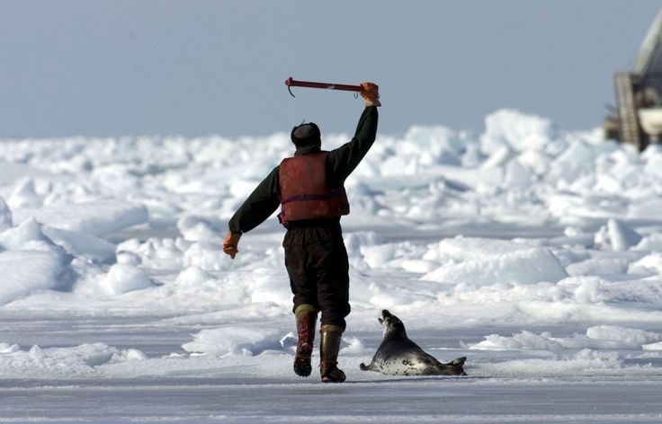 Seal Hunt – Network for Animals