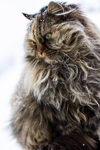 Snowy cat.... http://www.mainecoonguide.com/maine-coon-personality-traits/
