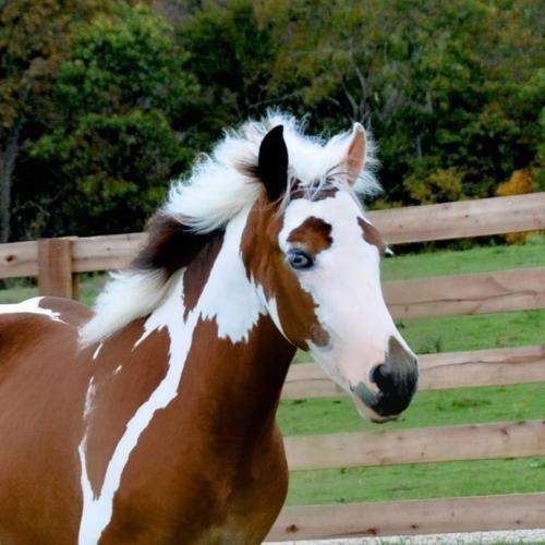 }{    interesting tricolor pinto horse - I'd love to see the rest of his body. Not sure if he's considered bay or not.