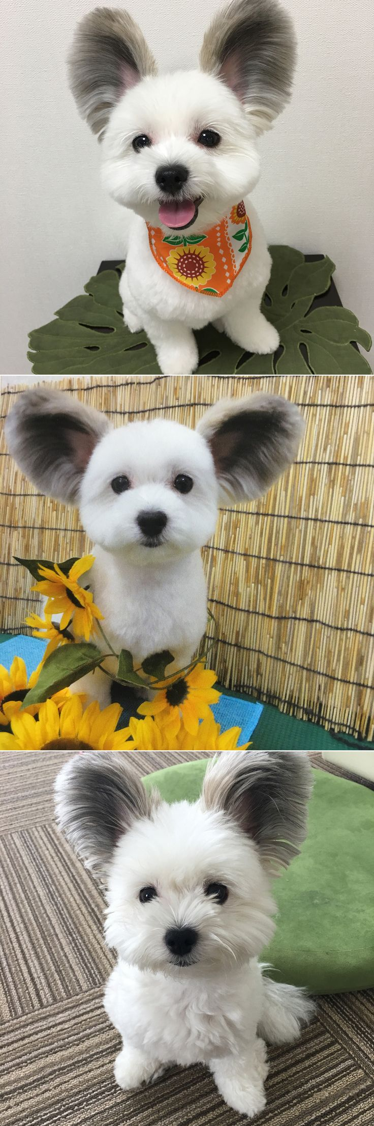 This Cute Maltese x papillon pup Goma Will Definitely Melt Your Heart