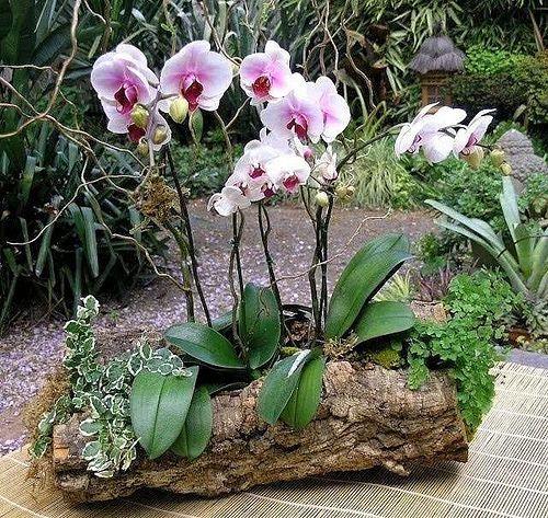 88 mejores im genes sobre orqu deas phalaenopsis videos en for Cuidados orquideas interior