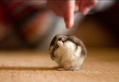 Ce hamster qui aimerait juste avoir un peu la paix.