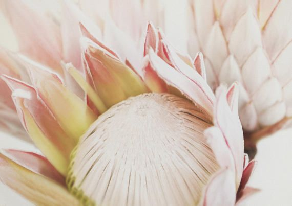 A beautiful King Protea photograph with a soft vintage feel and ethereal quality. It is inspired by beauty and romance. King Protea No.105 is the perfect gift for any lover of Botany, nature photography and soft romantic art prints. It can be displayed in a living room, hallway,