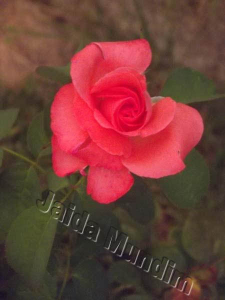 Rosa cor de rosa 28/02/2013