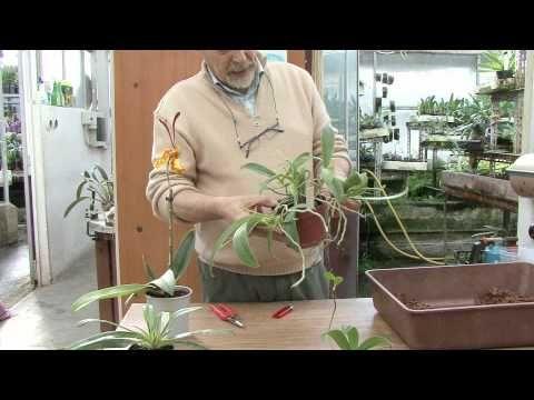 Coltivazione orchidee: il keiki e la moltiplicazione - YouTube