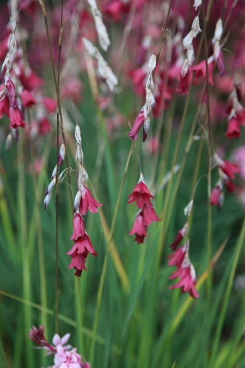 angels fishing rod (Dierama reynoldsii)