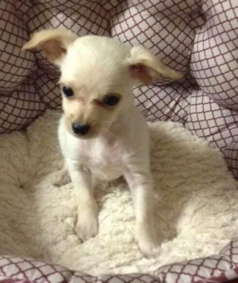 32 Best Images About Cute Chi Poo Puppies On Pinterest