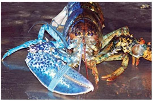 Two-tone lobster | Oddities | Pinterest | Lobsters and Colors