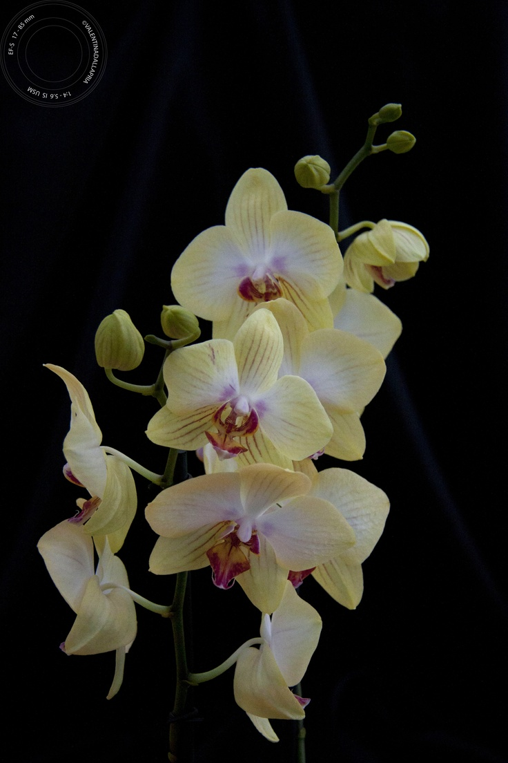 yellow orchid...soooo elegant!