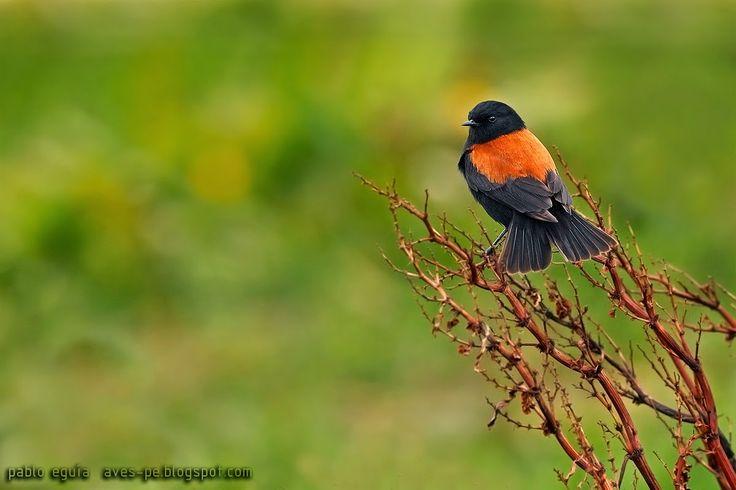 mis fotos de aves: Sobrepuesto común [Lessonia rufa] Austral negrito