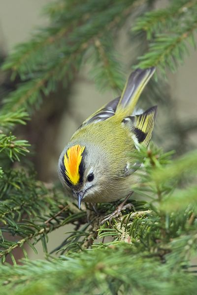 Goldcrest - Mark Hancox, bird photography