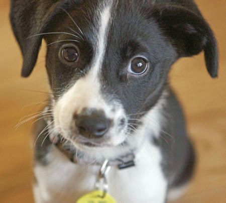 Border Collie / Jack Russell mix puppy