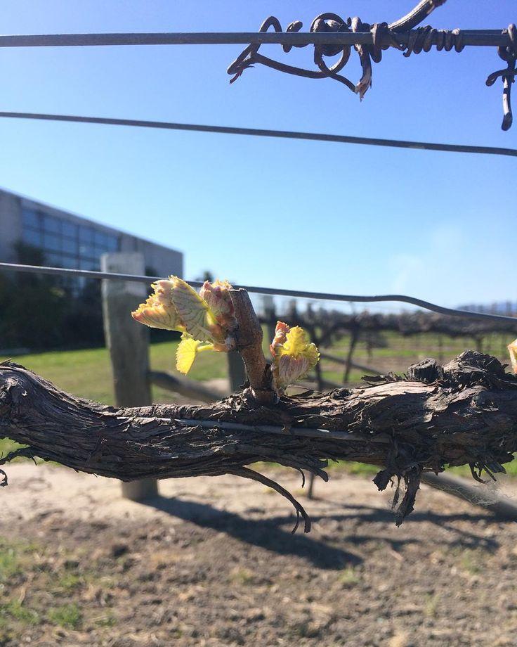 Pinot noir vines at the Mount Riley Winery vineyard, just outside our cellar door #mountriley #nzwine #pinotnoir #onlymarlborough #budburst