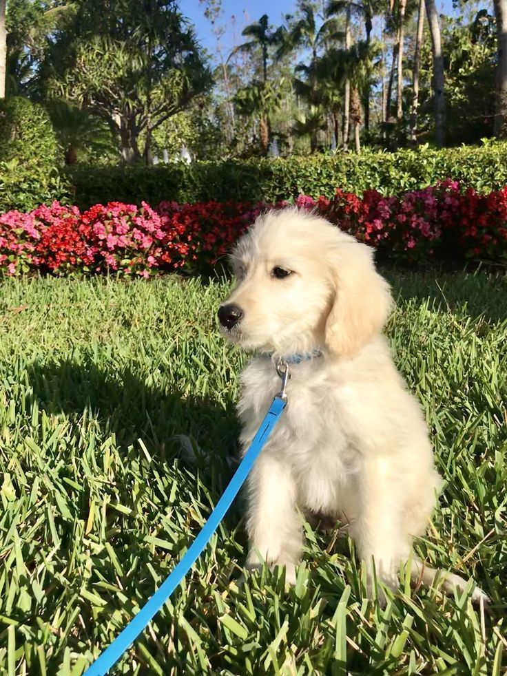 Goldendoodle Puppy Enjoying The Florida Spring Weather Rocking A