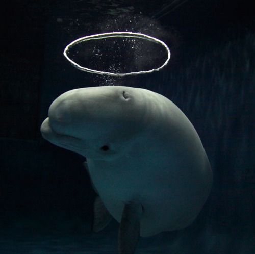 """A beluga with a halo bubble: A Beluga whale has become a sensation at an aquarium after learning how to blow halo-shaped bubbles. The extraordinary sight was captured on camera by photographer Hiroya Minakuchi at the Shimane aquarium in Japan. He said: """"This beluga started making bubble rings when she was seven. And a couple of years ago she developed her technique. Now she blows the water from her mouth to make a current, which is not visible for us underwater. She then blows air from her…"""