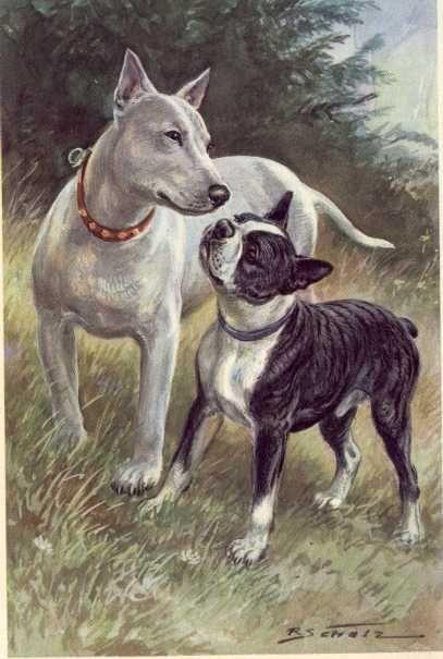 Vintage Boston Terrier (with Bull Terrier) illustration