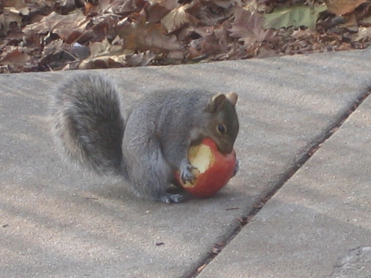 Squirrel eating an apple.