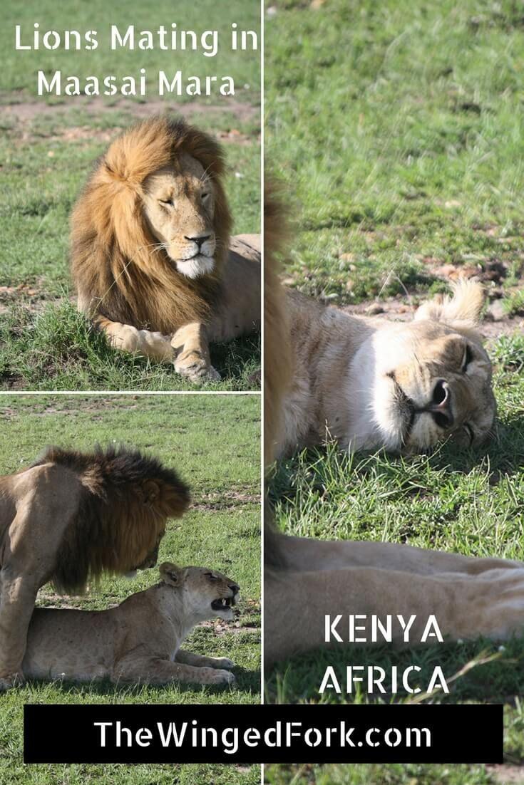 Fucking Fantastic Watching Lions mate in Maasai