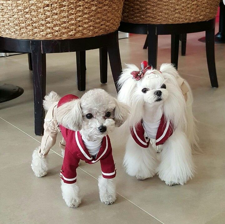 Toy Poodle & Maltese