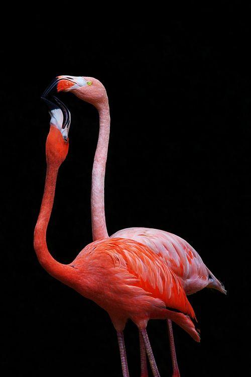 Los Flamingos o Flamencos...