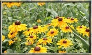 """Rudbeckia hirta, curarla, trucchi e foto sulla Rudbeckia hirta. La Rudbeckia hirta è una pianta erbacea, bienne a fiori gialli, simile alle """"margherite""""."""