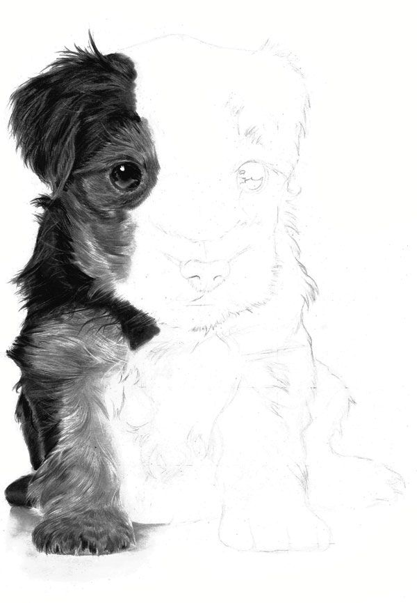 Any fine dark hairs on the puppys forelegs are best drawn with a 4B or 6B mechanical pencil or a sharp black coloured pencil