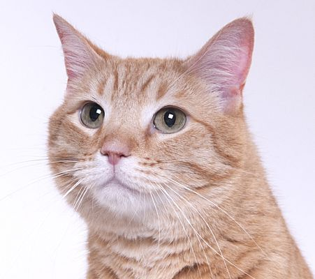 Chicago, IL Domestic Shorthair. Meet Tang, a cat for