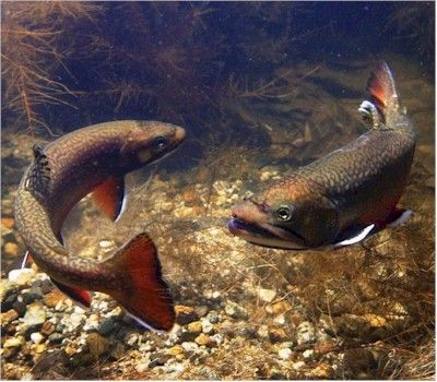 Brook Trout: Pennsylvania's state fish