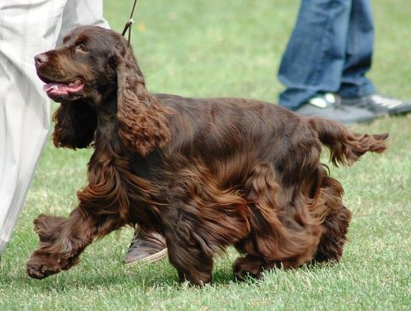 beautiful chocolate brown Cocker Spaniel Dogs I Love