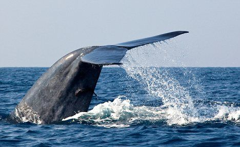 Facts About the Blue Whale:1.The Blue Whale (balaenoptera musculus) is the largest living organism in the planet. With an average length of 33 meters (108 feet) & weight of 180 metric tons (180,000 kgs) it is considerably bigger than the largest dinosaur (...).2.The Blue Whale belongs to the sub-order Mysticeti under the order Cetacea which refers to baleen whales. Baleen whales possess overlapping filtering plates in place of teeth which they use to filter their food…