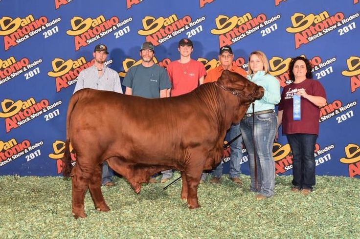Shout out to our girl Cadee for her 1st place Lightweight Santa Gertrudis Steer named Rusty at the San Antonio Livestock Show and Rodeo!! You rocked it Cadee congratulations!! #SERVPROfamily #sanantoniolivestockshowandrodeo #firstplace #wylieffa