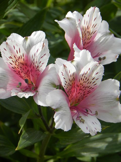 Peruvian Lily - also called the Lily of the Incas or Alstroemeria.  It's my favorite long-lasting cut flower!