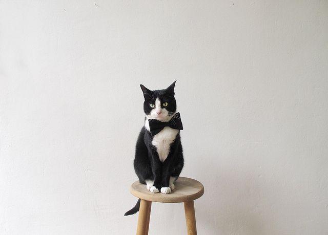 dapper meow
