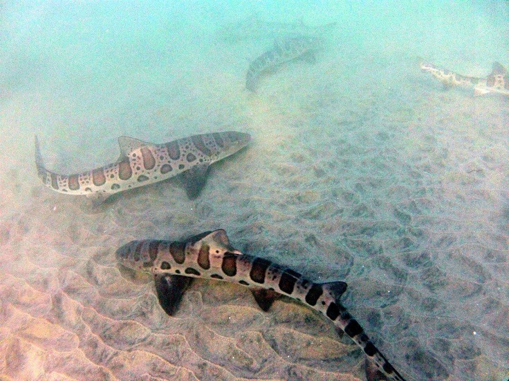 Leopard Sharks - saw two in the water just like this while boogie boarding in Laguna.