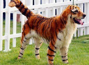 Dog Costumes For Large Dogs | Tiger1 New Chinese Trend Involves Dyeing Dogs to Look Like Wild ...