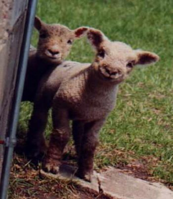 Olde English Babydoll Southdown Miniature Sheep. Detailed articles, breed information and photos. Diane Spisak is owner of this site and has raised sheep since 1960.
