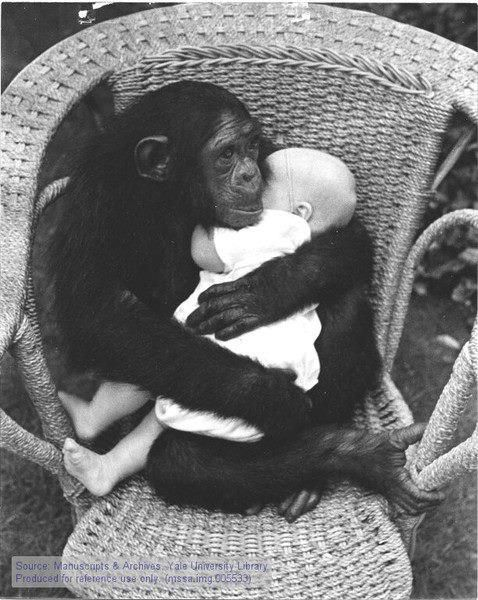 Funny Wildlife, Chimp cradling a human baby!! Don't think humans...
