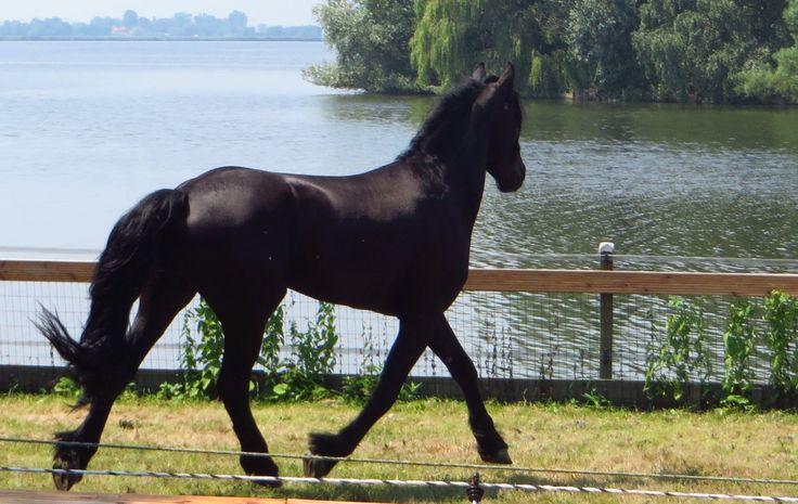 schoonheid, de hors, the horse