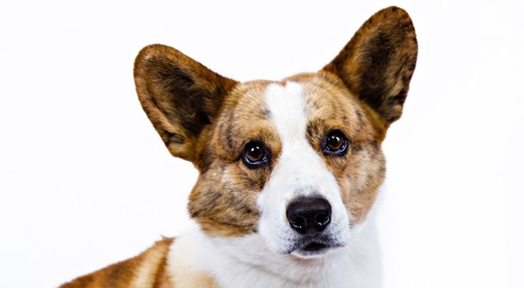 Right breed for you? Cardigan Welsh Corgi information including personality, history, grooming, pictures, videos, how to find a Cardigan Welsh Corgi and AKC standard.