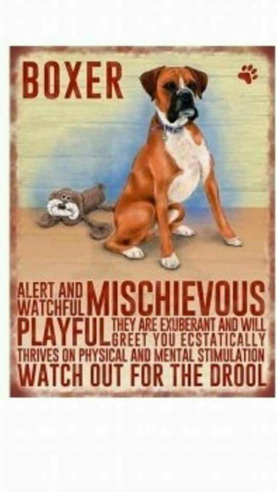 A Boxer's mischief ...... It should clarify the drool statement - only when they are hungry or drink water. Love my boy!!