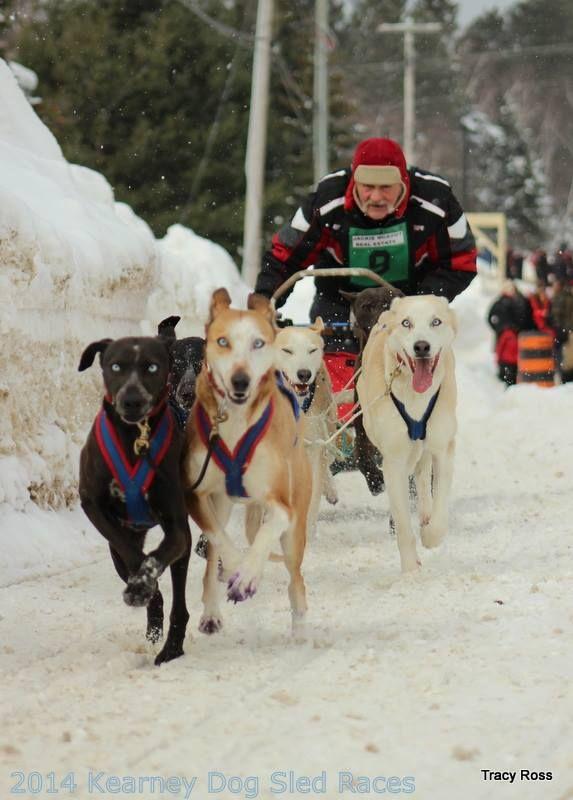 Kearney Dog Sled 2014.  Those dogs just love to run #Kearney
