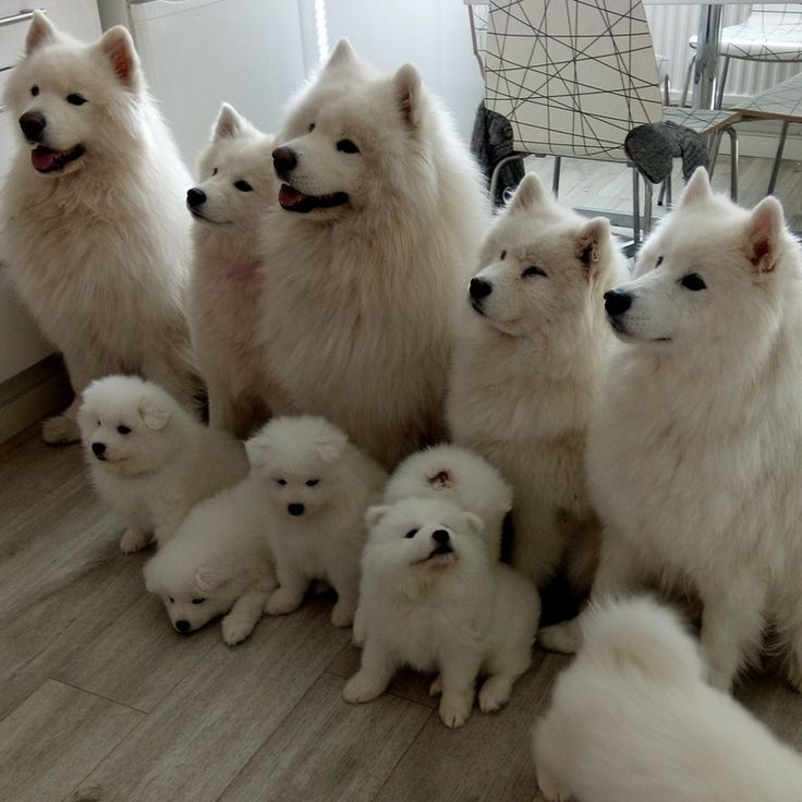 Samoyeds, and one of them is coming to our home next week : aww