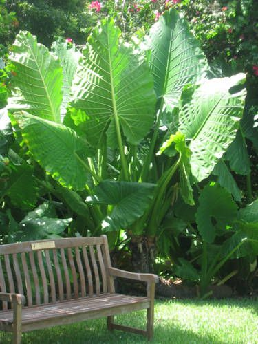 "Alocasia ""Borneo Giant"" elephant ear plant...dig up the bulbs in the fall and replant in the Spring..."