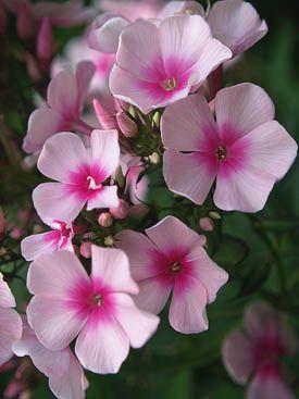 Plaménka latnatá ´Bright Eyes´ - Phlox paniculata 'Bright Eyes' NOVINKA - 70 - 80 cm, jemně růžové s červeným okem ( VII - VIII ) , silná rostlina. Kontejner K11