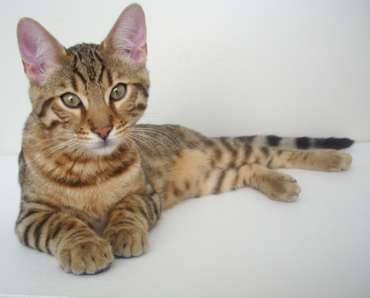 my bengal @ 4 months